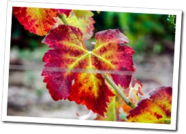 wineleaves in the autumn small