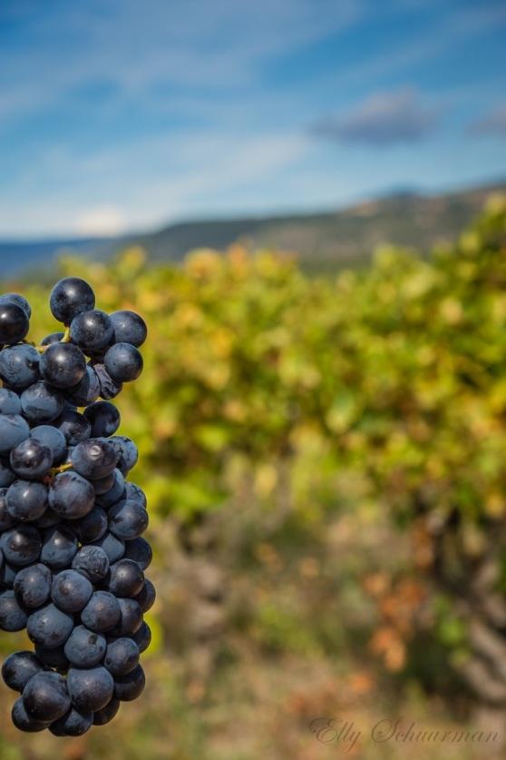 vineyards, montagne noire (1)