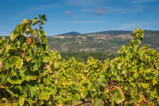 vineyards, montagne noire (2)