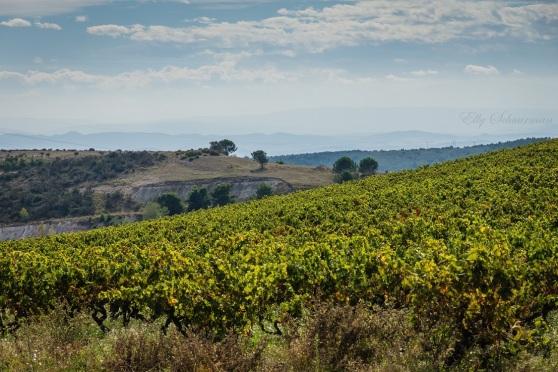 vineyards, montagne noire (3)