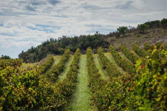 vineyards, montagne noire (4)
